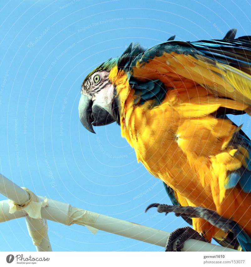 mophead Blue White Yellow Wind Parrots Feather Climbing Tousled Eyes Beak Bird Flying Sky Black Claw Summer South America Aviation