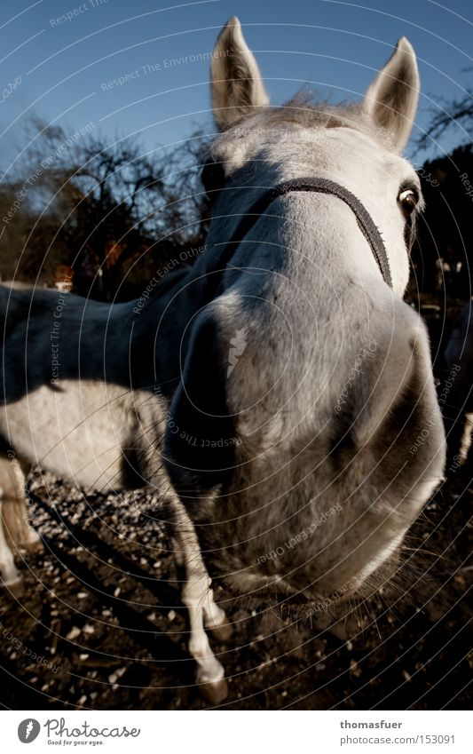 inquisitiveness Horse Nose Ride Gray (horse) Nostrils Curiosity Amazed Country life Wide angle Concentrate Communicate Mammal