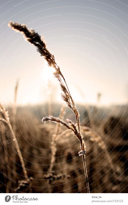 iced Winter Ice Frost Grass Blade of grass Sun Sky Cold Wind Light Lighting Nature stalk Snow