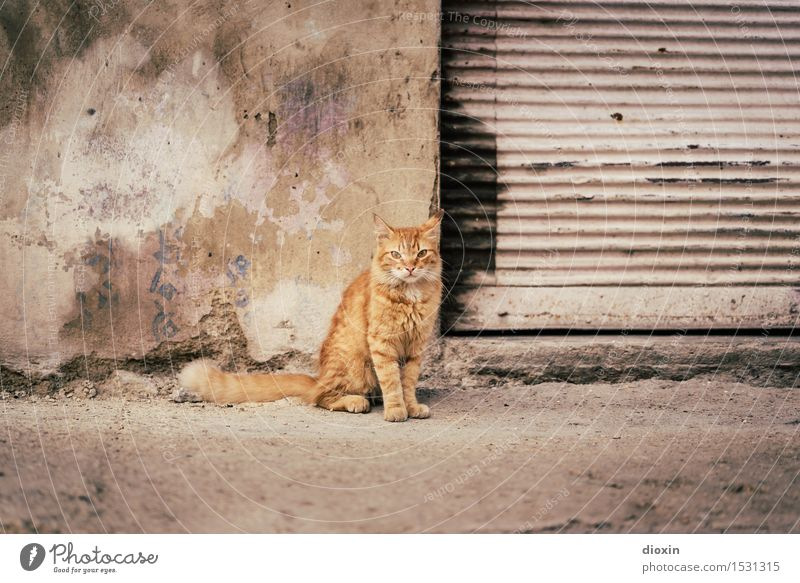 Cat Content | Cuban Cat Havana Central America South America Caribbean Town Capital city Port City Downtown Old town Deserted Wall (barrier) Wall (building)