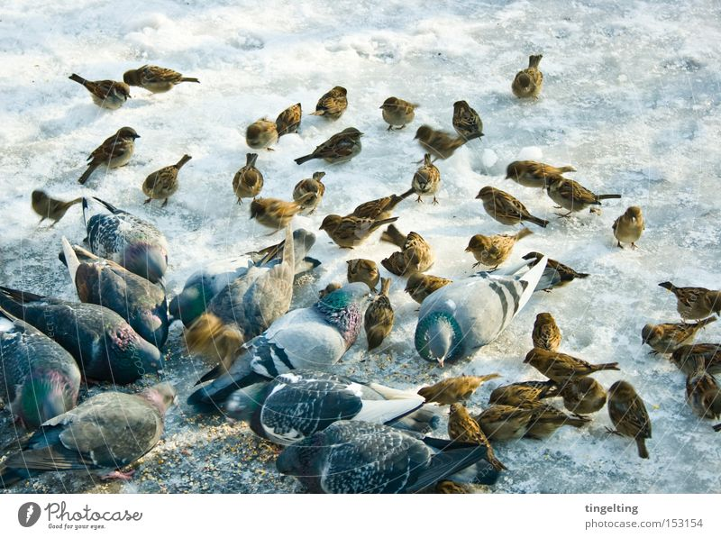 Winter Cold Snow Bird Ice Multiple Group of animals Ground Many To feed Pigeon Feed Sparrow Peck