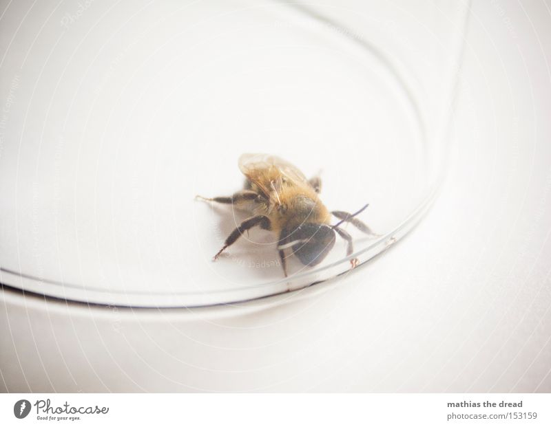 Flower Summer Small Glass Glass Dangerous Peace Wing Insect Pelt Bee Living thing Captured Feeler Honey Peaceful