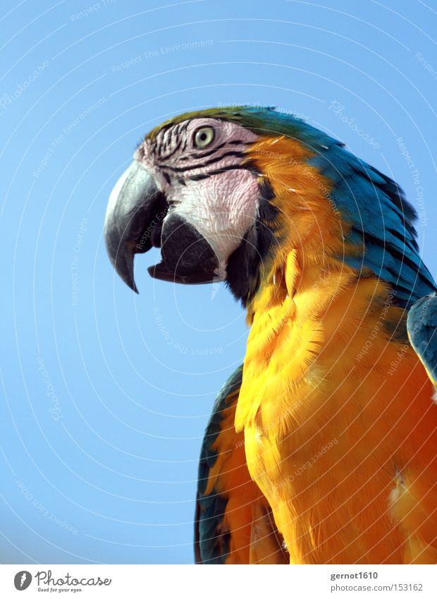 Biter 2 Elegant Exotic Summer To talk Animal Pet Wild animal Bird Animal face 1 Smart Blue Yellow Black Parrots Beak Erudite Eyes Feather South America