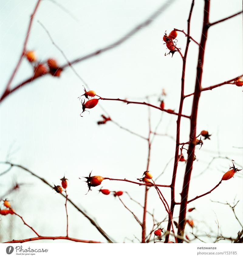 silent Calm Rose hip Bushes Twig Sky Fruit