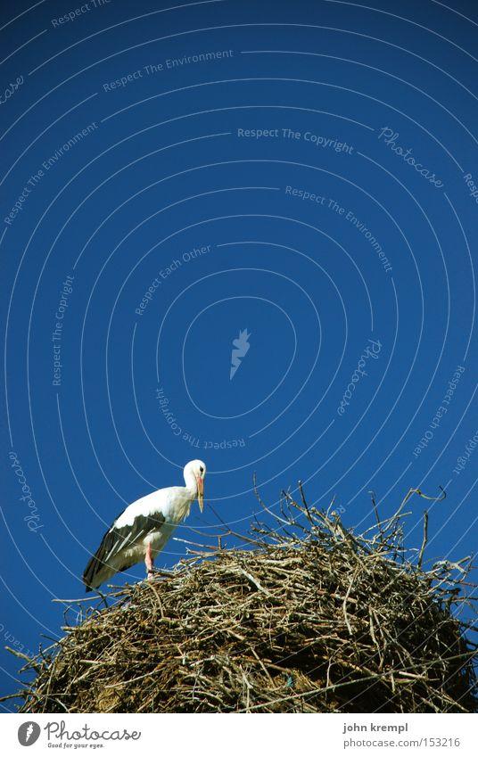 Sky Blue Bird Pregnant Nest Stork Nest-building