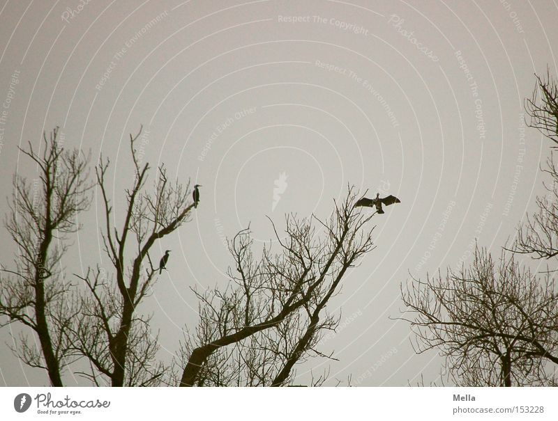 dry runs Environment Nature Tree Animal Bird Wing Cormorant 3 Crouch Sit Natural Gloomy Gray Treetop Branchage Disperse Dry Colour photo Subdued colour