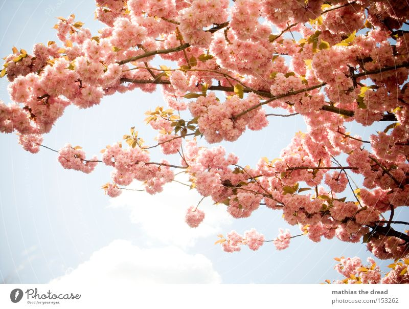Sky Nature Blue Beautiful Summer Relaxation Spring Blossom Pink Weather Idyll Branch Twig Paradise Cherry
