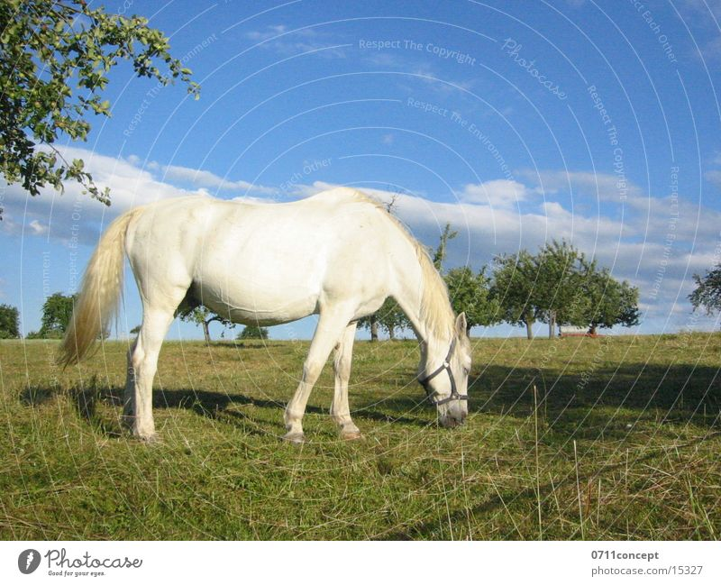 Sky Blue White Tree Spring Meadow Field Large Horse Pasture To feed Fairy tale Pride Mold Urine Excretion