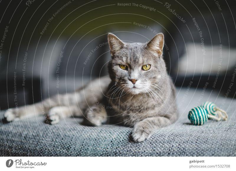 04_Cat, pardon hangover on sofa Animal Pet Farm animal 1 Observe Lie Glittering Cuddly Curiosity Soft Gray Happy Joie de vivre (Vitality) Power Willpower