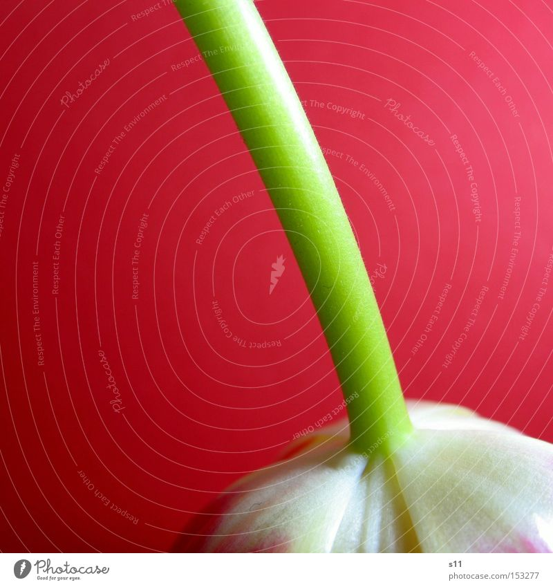 Tulipa Pink Hang Flower Spring Plant Nature Inverted Macro (Extreme close-up) Decoration Stalk herald of spring bulb flower Rotate