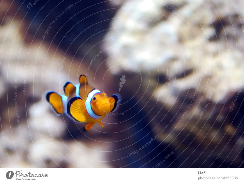 Dori? Water Fish Aquarium Small Loneliness Finding Nemo Clown fish Sulk Colour photo Copy Space top Shallow depth of field Copy Space right 1 Deserted Forward