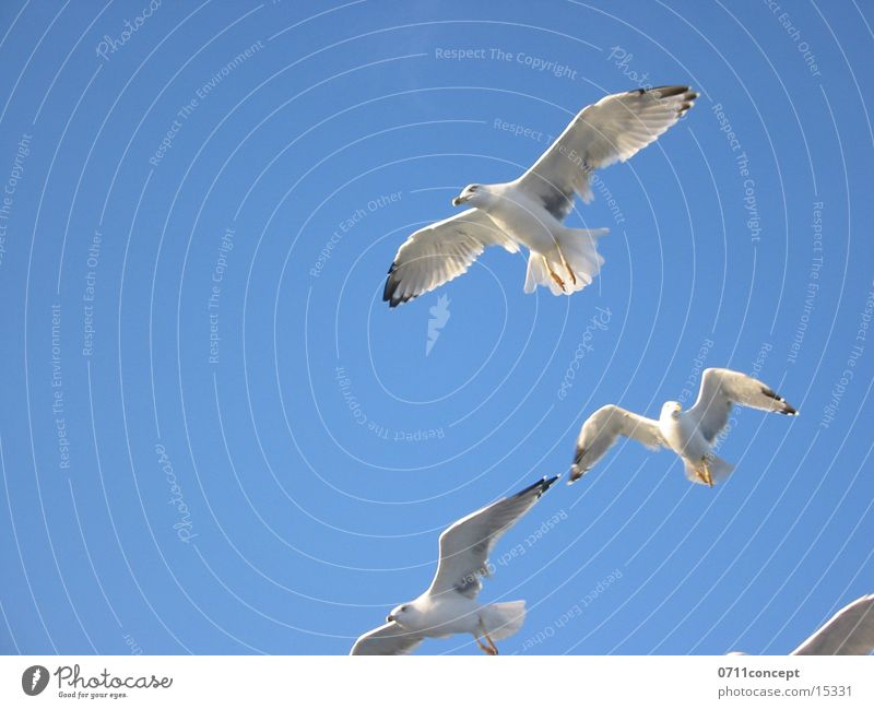 Greek Flight Squadron Bird seagull seagulls Flying Aviation Sky Freedom