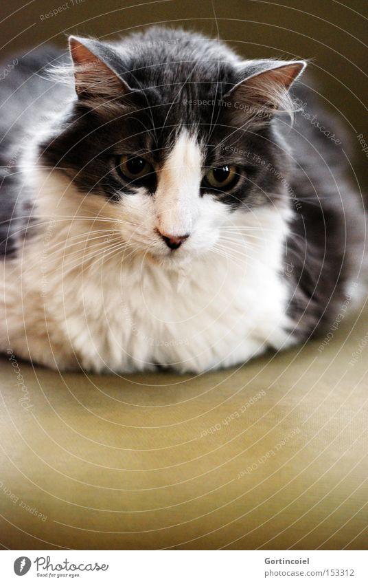 Beautiful White Eyes Animal Gray Cat Elegant Esthetic Soft Animal face Sofa Delicate Pelt Smooth Noble Pet