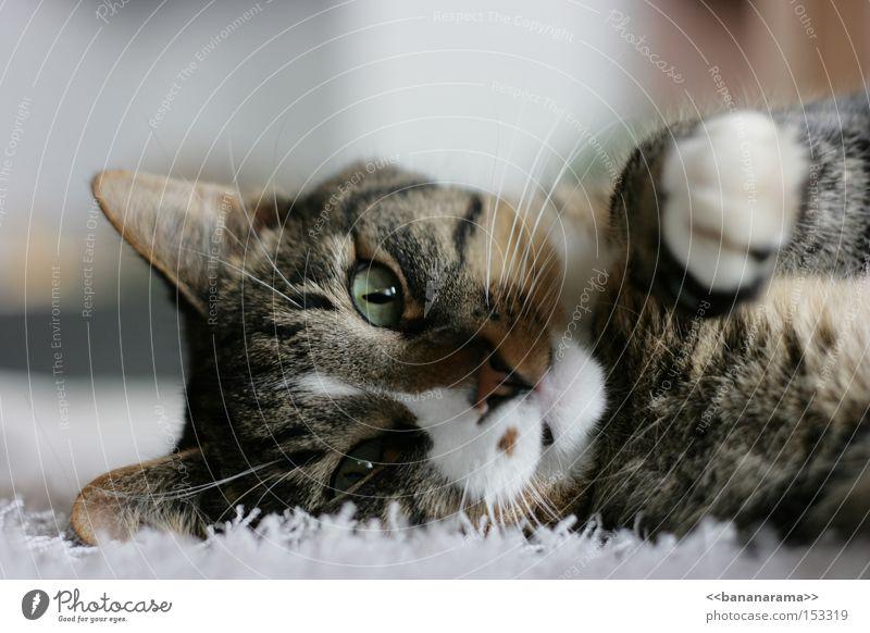 Cat Nose Lie Peace Pelt Pet Paw Mammal Carpet Domestic cat Cuddling Kitten Smacker