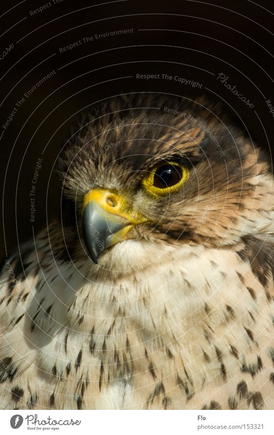 kestrel Falcon Bird of prey Beak Kestrel bird portrait falconry portrait