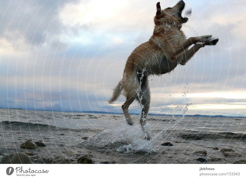 HAPPY JUMP Dog Jump Water Stone Sky Clouds Animal Pet Waves Inject Sunset Vacation & Travel Summer Swimming & Bathing Joy Leisure and hobbies Canada