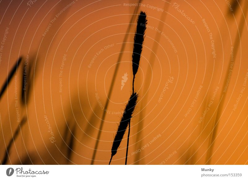 Sun Black Meadow Grass Orange Sunset Honor