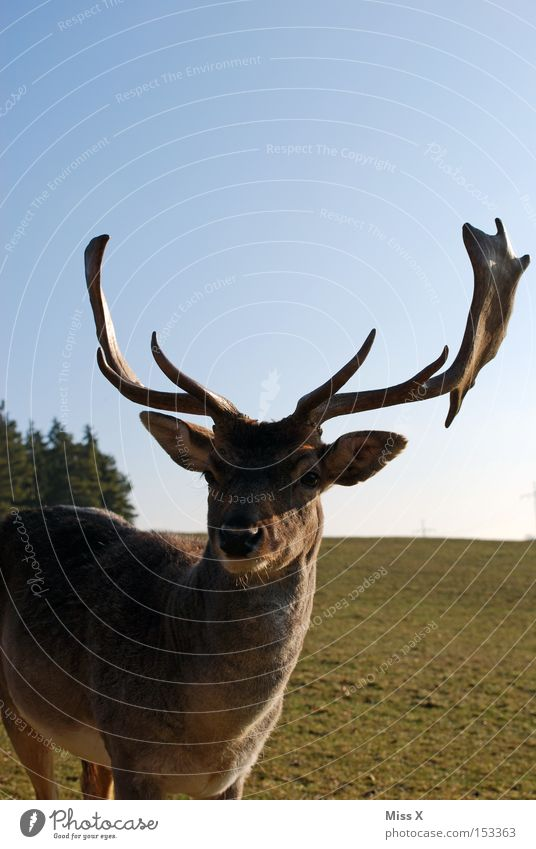 and daily the stag greets Colour photo Exterior shot Winter Animal Meadow Wild animal Green Deer Roe deer Reindeer Antlers Mammal rudi Day