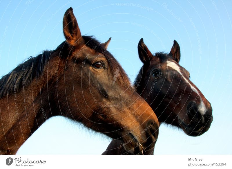 HANNO + VERA ...ner Horse Animal Horse's head 2 Brown Mammal riding horse In pairs Eyes Pair of animals