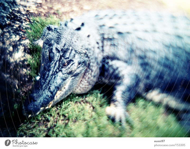 Fear Dangerous Threat Leather Panic Reptiles Dinosaur Crocodile Caiman