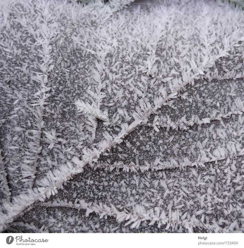 icy sheet of paper... Leaf Limp Winter Frost Ice Cold Vessel Hoar frost Nature Crystal structure Structures and shapes Brown White Transience Helgi Snow