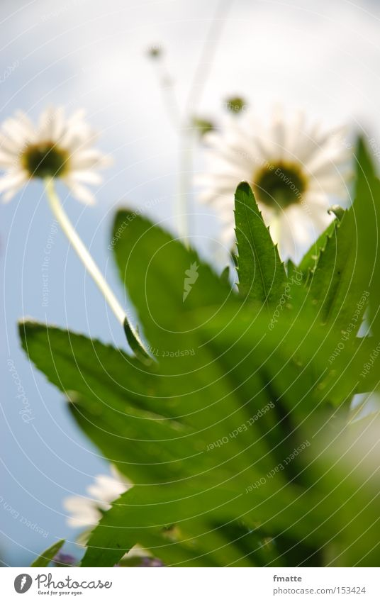 Sky Flower Green Summer Clouds Meadow Blossom