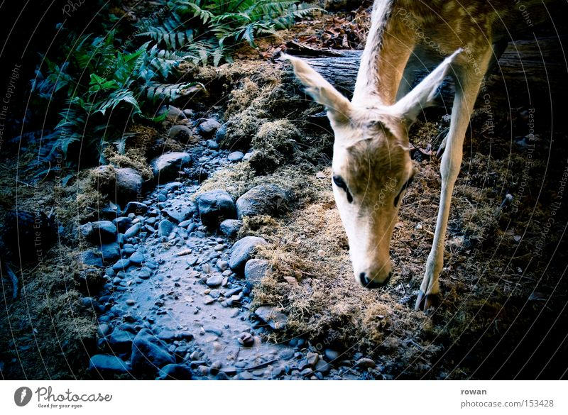 Bambi Roe deer Forest Fawn Wilderness Vension Delicate Feeble Deer Hunting Prey Hunter Mammal forest life