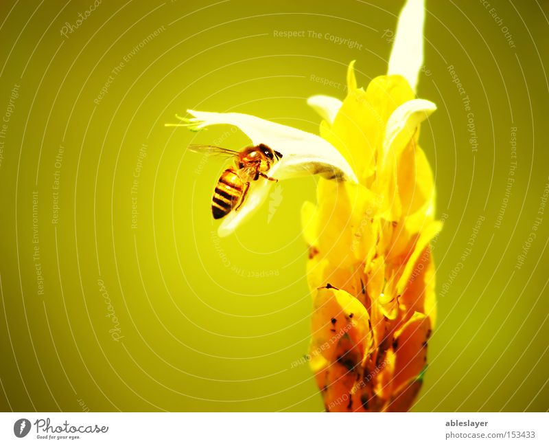 My Bee Honey bee Nature Yellow Flower Stamen Plant Animal Insect Wing Macro (Extreme close-up) ableslayer