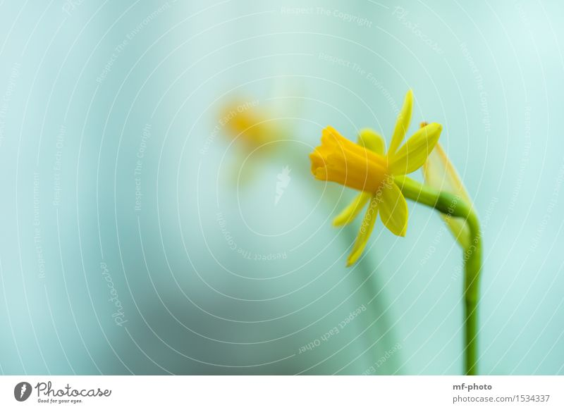 daffodil Nature Plant Flower Wild daffodil Narcissus Yellow Green Turquoise Colour photo Exterior shot Macro (Extreme close-up) Deserted Day Blur