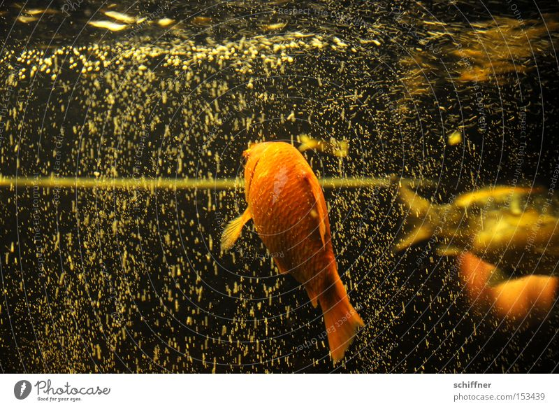 Flying bubbles III Fish Goldfish Koi Aquarium Air bubble Bubbling Drape Water Fin Hover Weightlessness Blur Back Aviation Swimming & Bathing