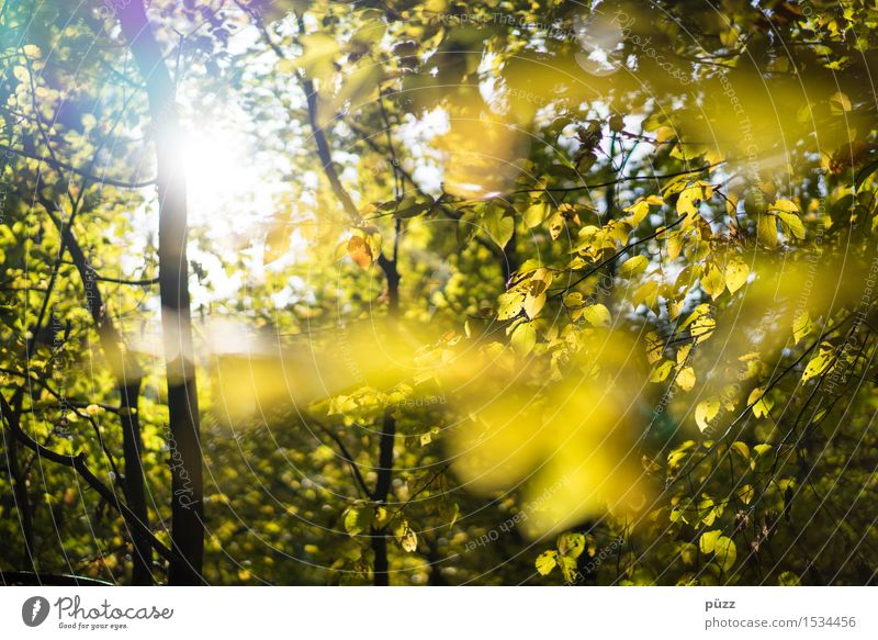 autumn Environment Nature Plant Sun Sunlight Autumn Beautiful weather Tree Leaf Foliage plant Wild plant Beech tree Beech wood Bright Natural Warmth Yellow Gold