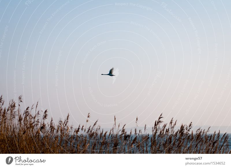 Bodden Swift II Nature Cloudless sky Common Reed Marsh grass Coast Baltic Sea Boddenlandscape NP Animal Wild animal Bird Swan 1 Flying Elegant Blue Brown Gray