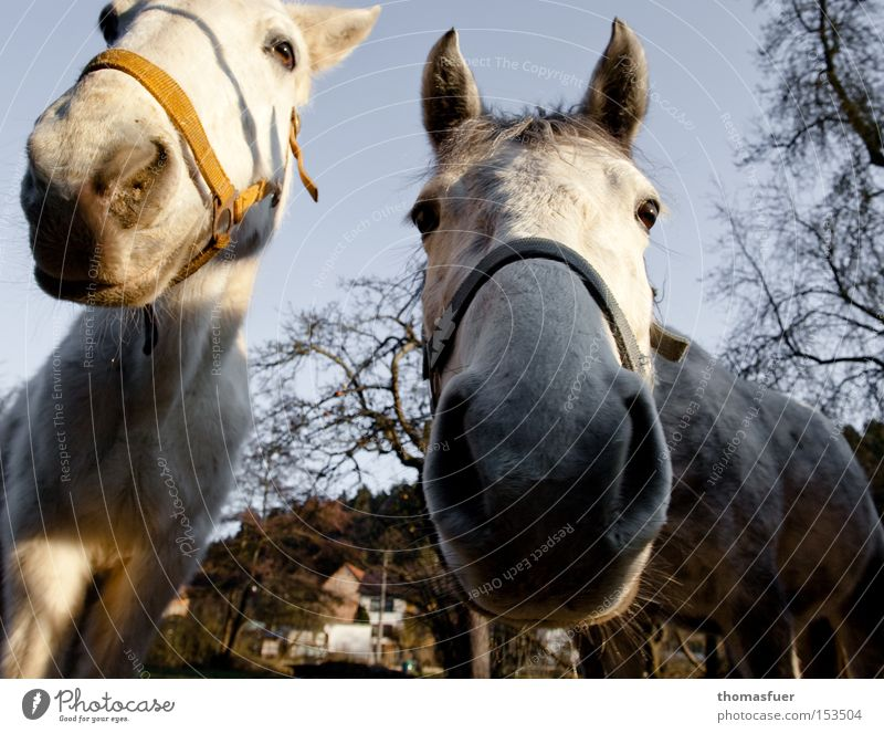 Nose Horse Trust Curiosity Gray (horse) To feed Mammal Feeble Amazed Animal Ride Avaricious Country life Nostrils