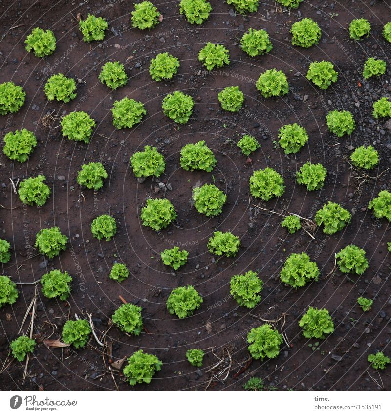 monitors | allotment garden rules Food Lettuce Salad Nutrition Vegetarian diet Agriculture Forestry Earth Agricultural crop Garden Field Growth Delicious