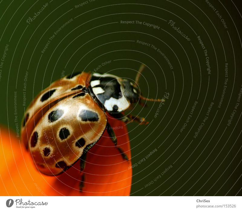 Green Black Animal Spring Happy Orange Flying Beginning Aviation Insect Ladybird Beetle