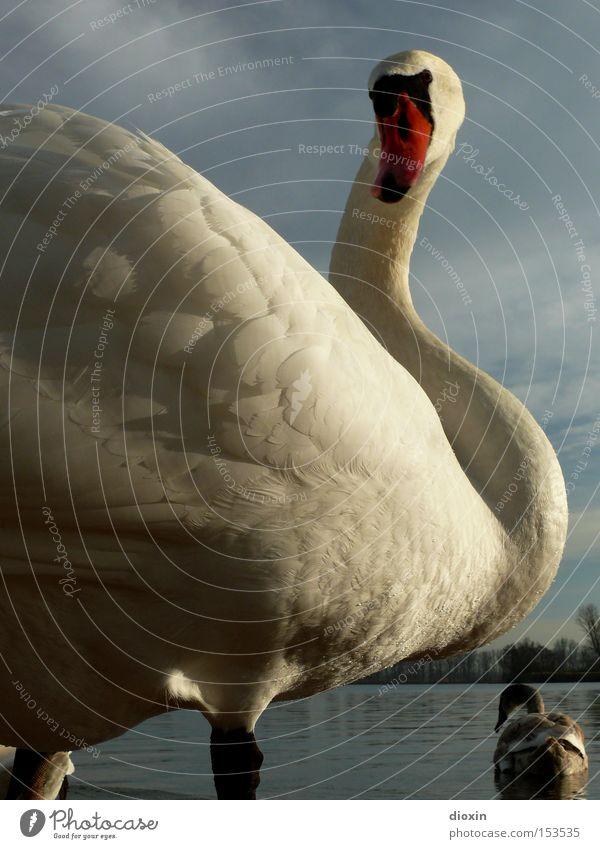Water Clouds Lake Bird Waves Feather Wing Neck Pond Swan Animal Evening sun Duck birds