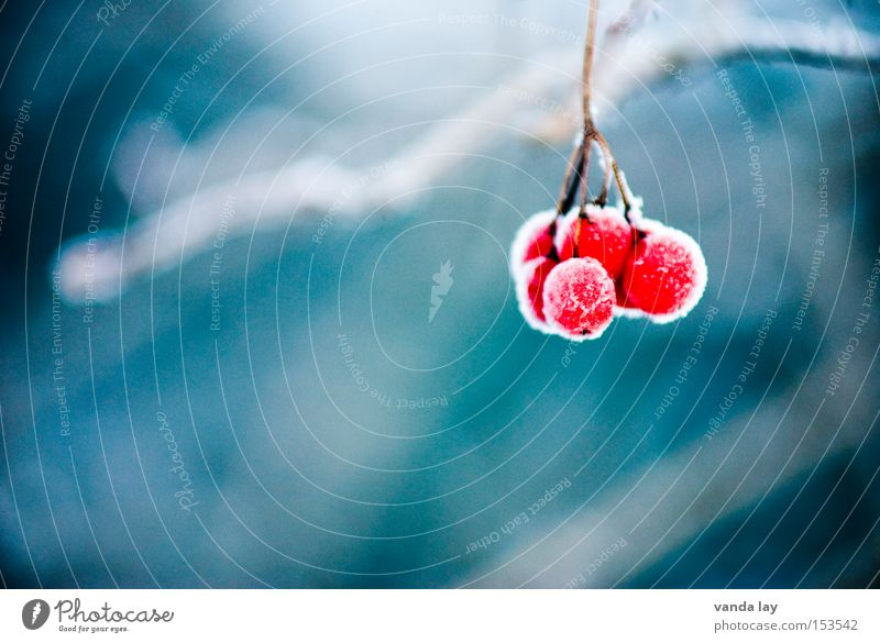 Nature Red Winter Cold Snow Ice Background picture Fruit Detail Frozen Freeze Berries Poison