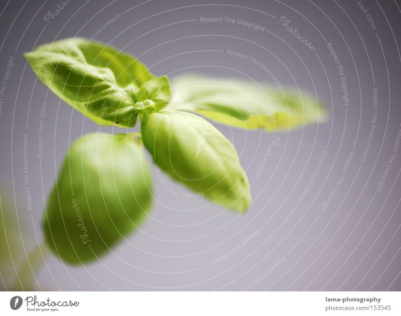 Green Spring Fresh Growth Kitchen Italy Gastronomy Herbs and spices Vegetable Food Plantlet Vegetarian diet Basil