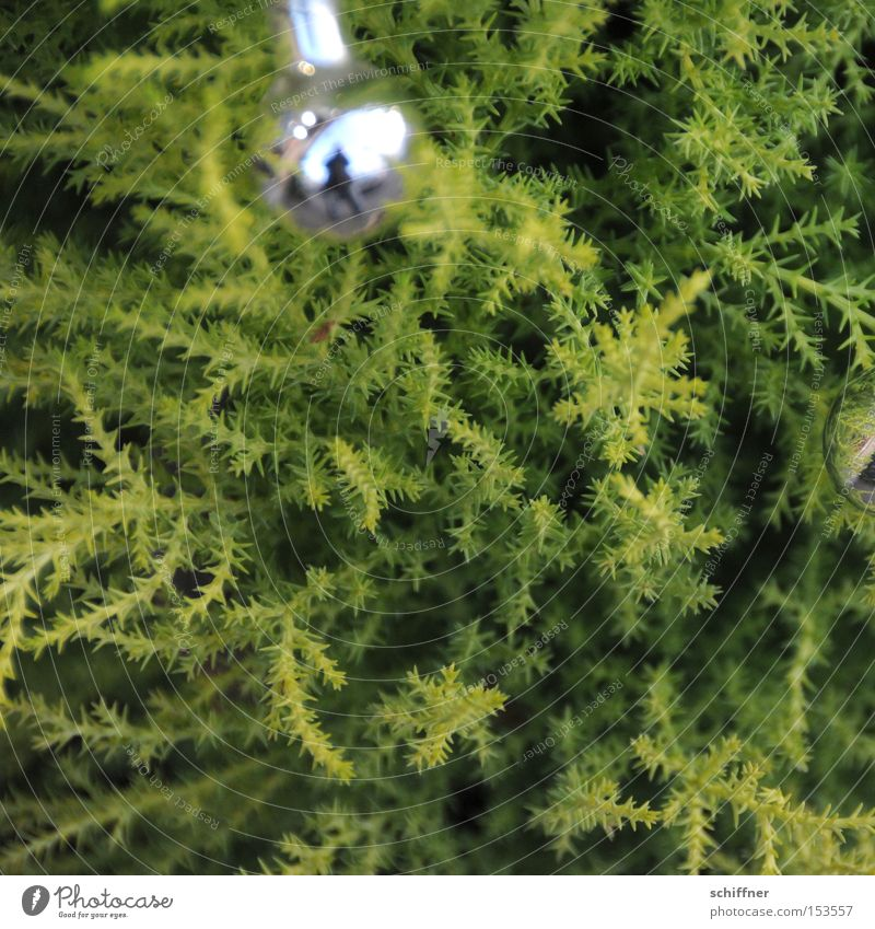 smuggled in... Christmas decoration Glitter Ball Conifer Plant Green Bright green Silver Prongs Point Depth of field Bushes Maturing time Reflection Disco ball