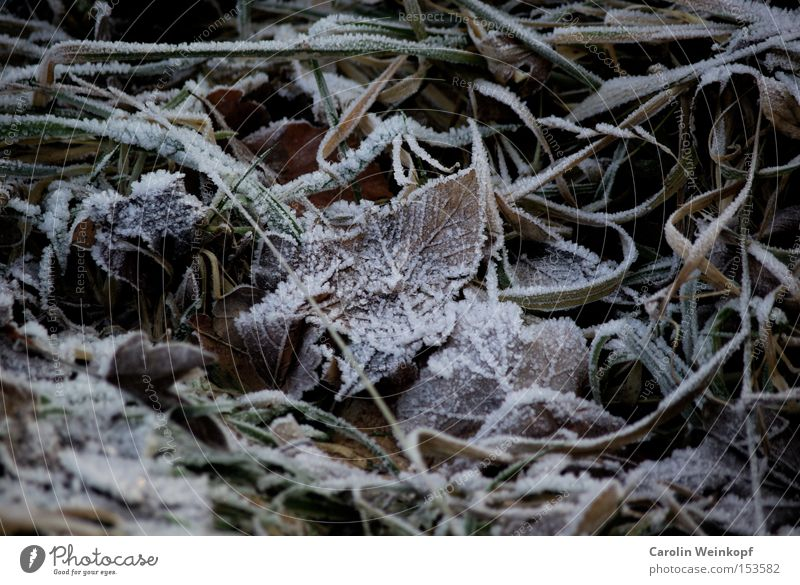 Frost. Winter Snow Ice Frozen Leaf Freeze Cold Clink Grass Autumn Minus degrees Temperature Brown Green White Colour photo Exterior shot Day Deserted