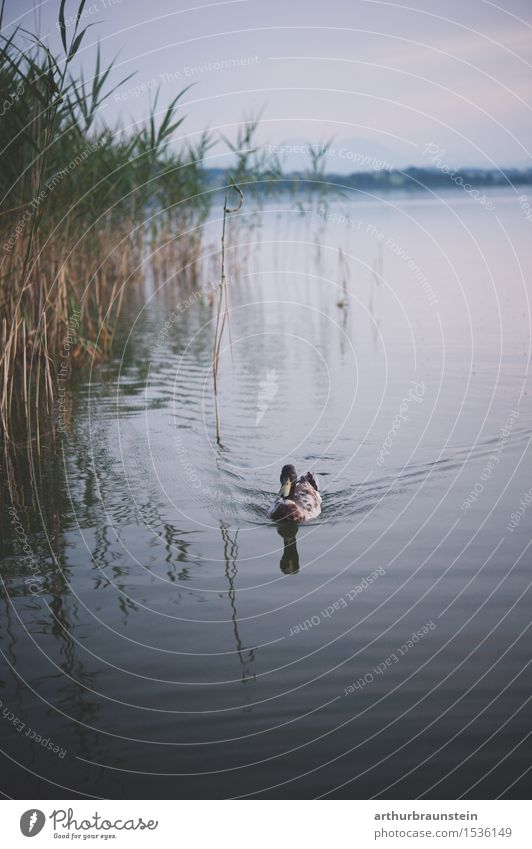 Duck in the lake Hunting Trip Environment Nature Landscape Water Plant Wild plant Common Reed Waves Lakeside Animal Wild animal Duck birds 1 Swimming & Bathing