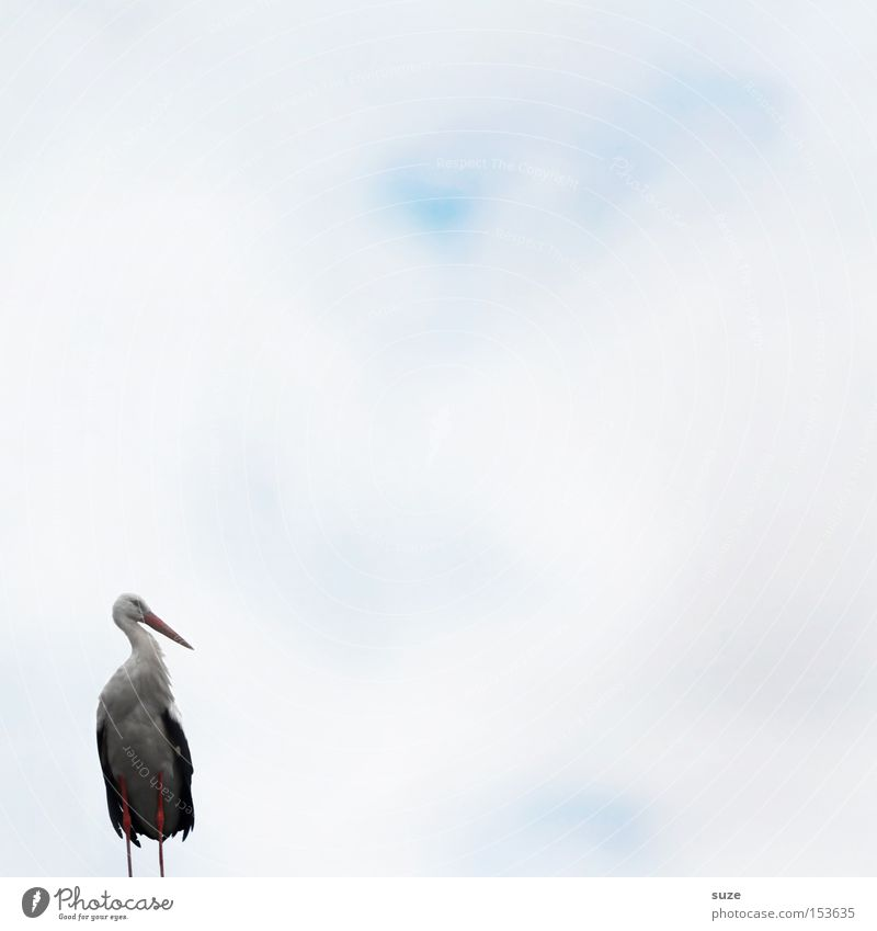 Mr. Adebar Environment Nature Landscape Plant Animal Air Sky Wild animal Bird Stork 1 Sign Stand Dream Wait White Happy Spring fever Anticipation Curiosity Hope