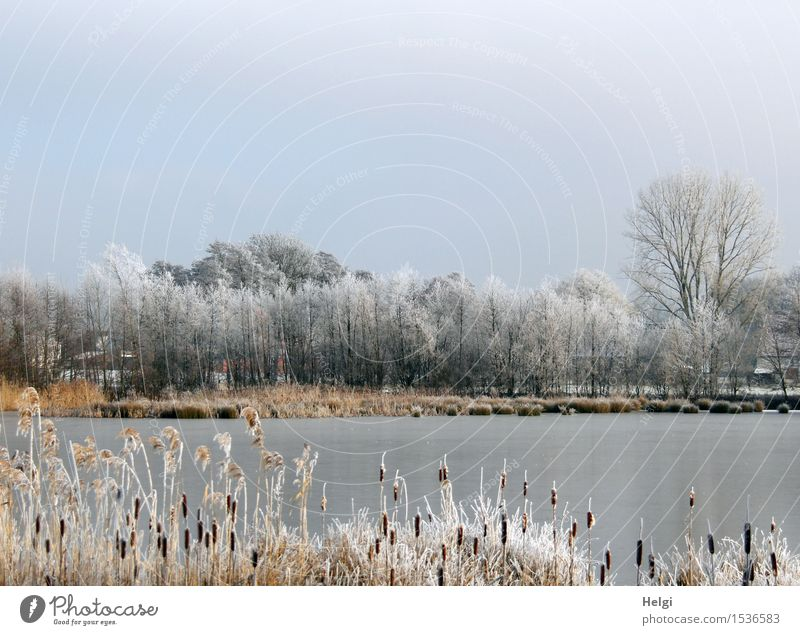 Winter at the lake Environment Nature Landscape Plant Cloudless sky Beautiful weather Ice Frost Tree Wild plant Cattail (Typha) Common Reed Lakeside Freeze