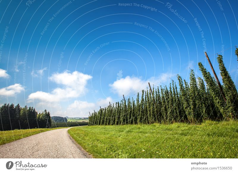 Landscape with a ripening hop plants in a sunny day Herbs and spices Beer Summer Garden Industry Plant Sky Clouds Line Growth Blue Green Hop field Crops Harvest