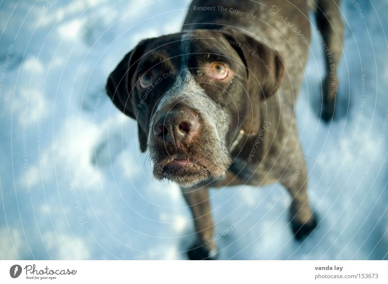 doggie eyes Dog Snow Cold Mammal Animal Expectation Beg Desire Appetite Grief Puppydog eyes Winter German Shorthair Sadness
