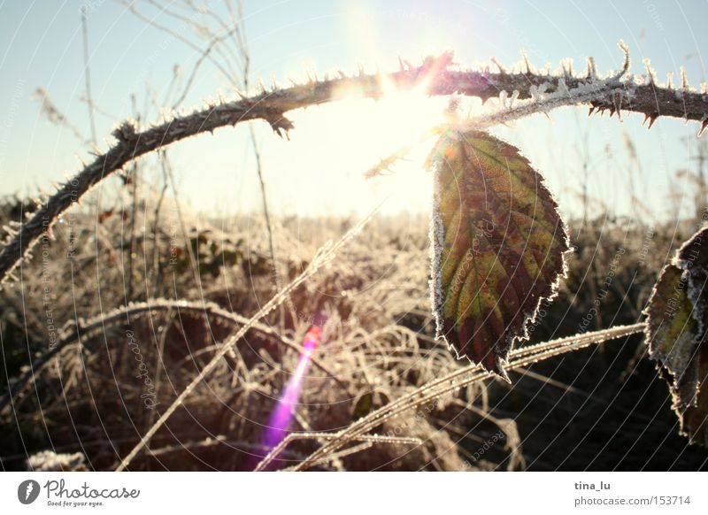 Ice III Winter Frost Grass Blade of grass Sun Sky Field Sunspot Cold Wind Light Lighting Nature stalk Snow