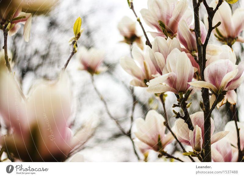 spring Environment Nature Spring Plant Joy Joie de vivre (Vitality) Flower Blossom Magnolia plants Happy magnolias Tree Colour photo Multicoloured Exterior shot