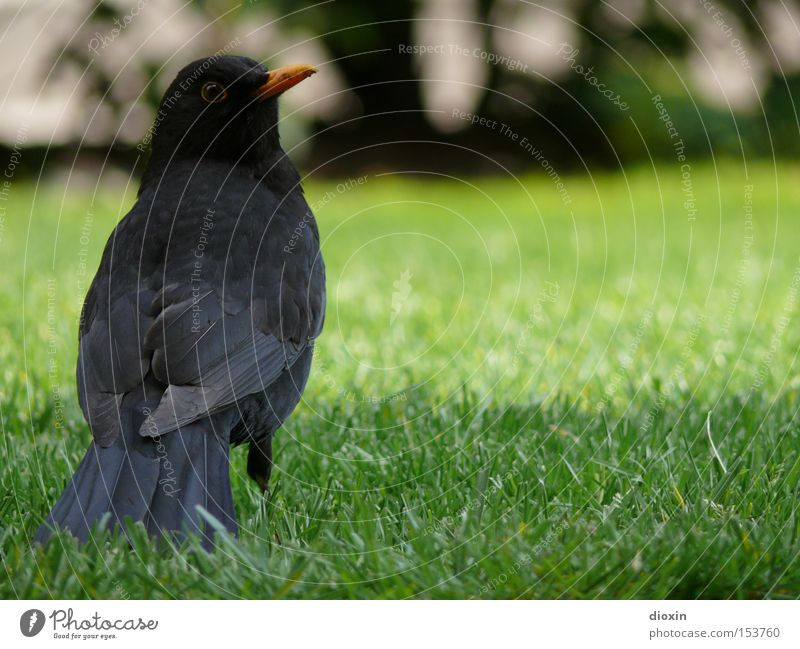 turdus merula Bird Blackbird Meadow Garden Feather Beak Wing Eyes Looking Green Spring Park tail feathers cultural follower view Hind quarters Tails