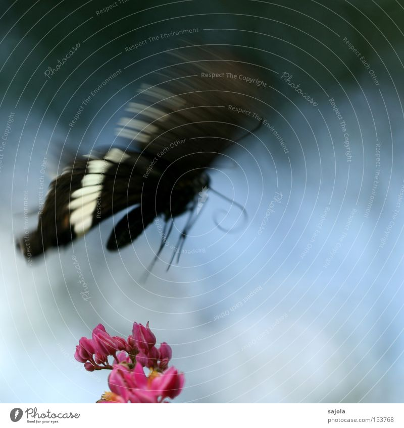 Beautiful White Flower Blue Black Animal Blossom Movement Pink Flying Aviation Wing Insect Delicate Butterfly Dynamics