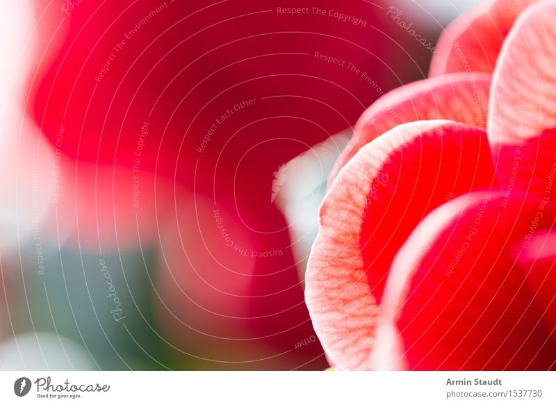 Nature Plant Beautiful Eroticism Red Calm Life Love Emotions Background picture Style Healthy Moody Together Design Pink